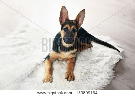 Cute dog shepherd on carpet