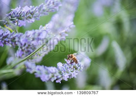 Bee Pollinating Lavender