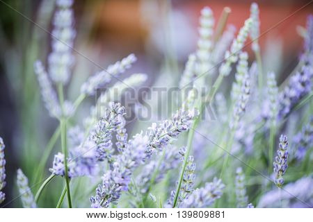 Blurred And Tonned Lavender Close Up