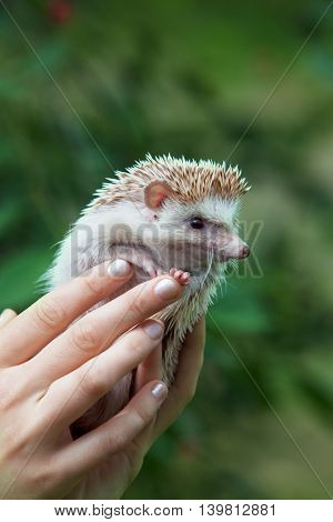hedgehog in female hands on nature. close-up
