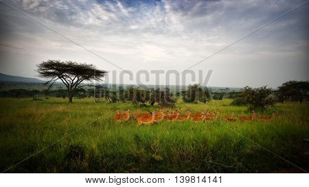 Antelopes - African Wildlife Background