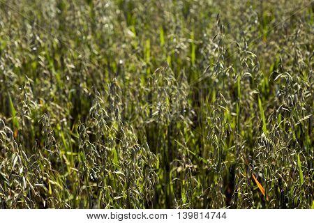 Green oat field closeup on a summer day