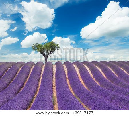Beautiful landscape of blooming lavender field with sunny sky, lonely tree uphill on horizon. Provence, France, Europe.