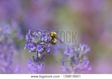 Bumblebee Collecting Nectar On A Lavender Blossom