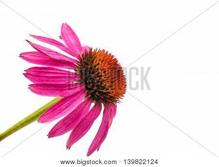 echinacea pink flower isolated on white background
