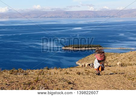 South America Bolivia - Isla del Sol on the Titicaca lake the largest highaltitude lake in the world. Ethnic woman returning to the village with wood being used to make a fire in order to cook the food.