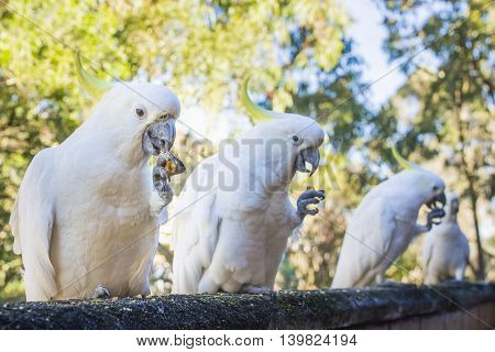 White australian cockatoos feeding close up photo