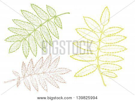 rowan set of multicolored leaves on a white background. Vector eps10 illustration