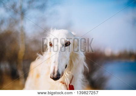 Dog Russian Borzoi Wolfhound Head , Outdoors Spring Autumn Time Close Up Portrait