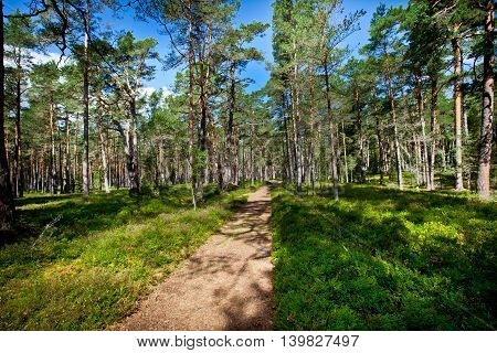 Road in a pine forest in summer. Green forest landscape