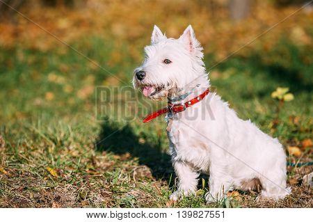 Happy West Highland White Terrier - Westie, Westy Dog Portrait