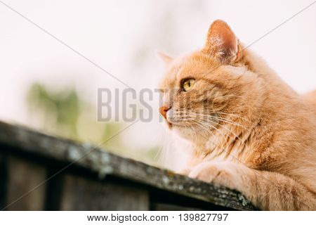 Funny Fat Red Cat Sitting On Fence In Summer Day. Close Up.