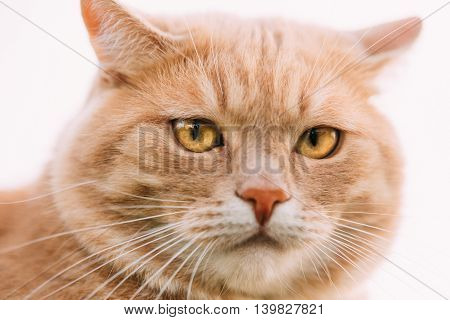 Close Up Of Funny Fat Red Cat At White Background