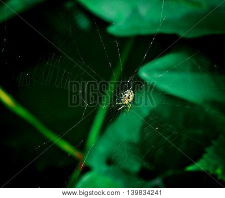 Little spider in a web against big green leaves