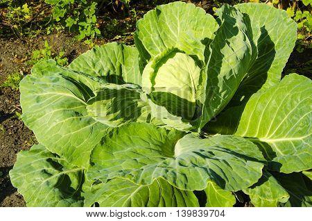 Green nature cabbage in vegetable kitchen garden