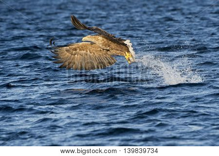 White-tailed eagle (Haliaeetus albicilla) catching fish in Norwegian bay.