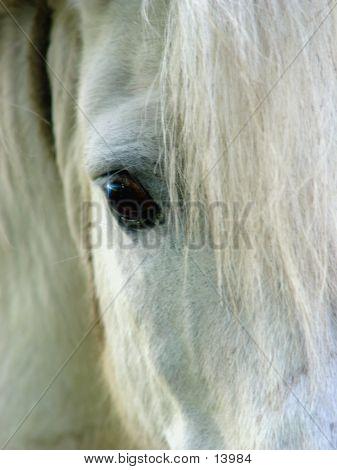 Closeup Of A White Horse