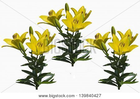 big beautiful yellow garden lily isolate on a white background