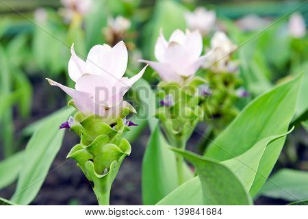 Siam Tulip flowers (also known as Curcuma alismatifolia summer tulip hybrid tulip hot tulip Zingiberales) can be found in northern of Thailand Laos and Cambodia