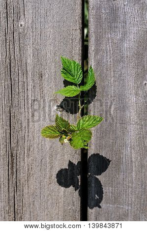 A plant growing through two aged wooden planks