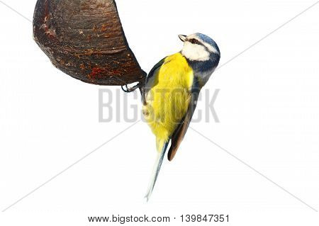 blue tit eating lard isolated over white background ( Cyanistes caeruleus )