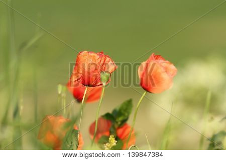 colorful red wild poppies in the field ( Papaver rhoeas )