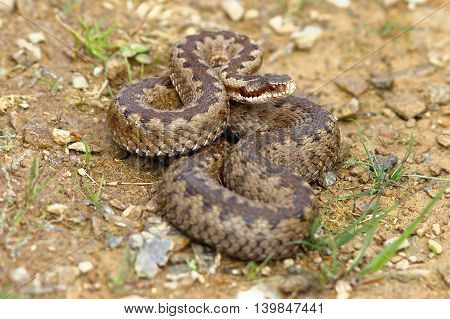 european common crossed adder on the ground ( Vipera berus female )