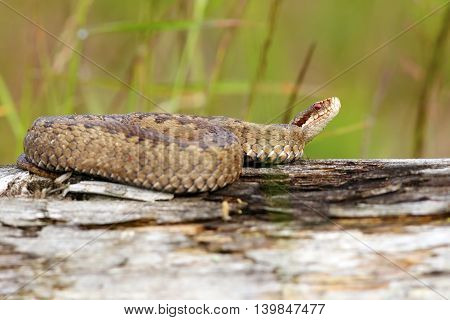 female european crossed viper ( Vipera berus )