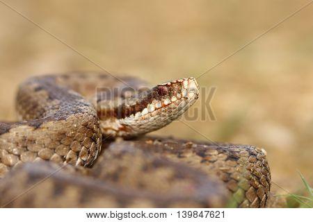 portrait of common crossed viper ( Vipera berus close up )