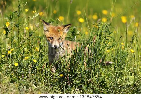 small young fox sitting in green grass ( Vulpes vulpes )