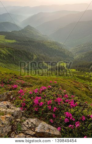 rhododendron flowers in the foreground the Carpathian Mountains in the fog. evening light