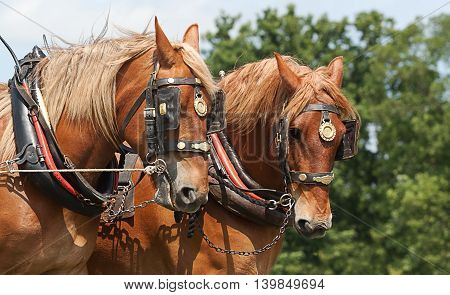 photograph of a pair of Heavy horses in working harness