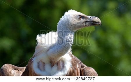 photographic portrait of an alert Griffon vulture