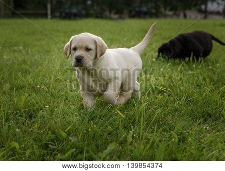 Cute Yellow Labrador Puppy Running On Green Field