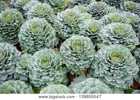 fresh vegetable, Ornamental cabbage in the garden