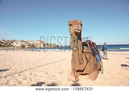 Camel resting on Bondi Beach in Sydney Australia
