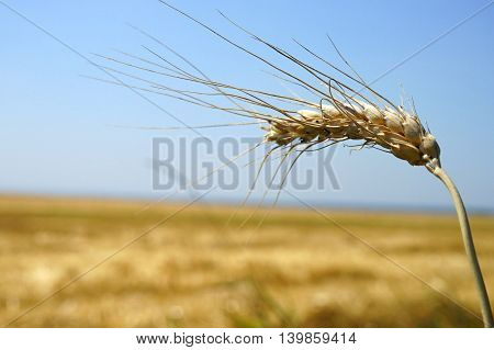 Wheat field, close up during midday, blue sky as background.