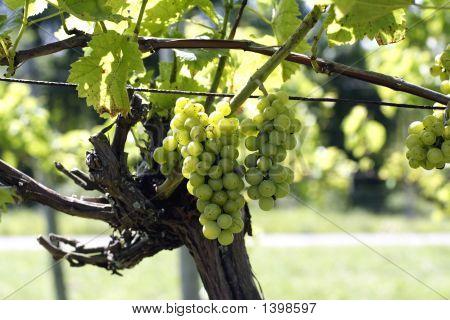 Wine Grapes1