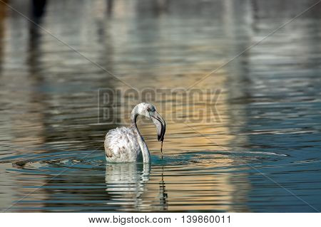 A Greater Flamingo (Juvenile) taking food (algae)in a water-logged area in Bahrain