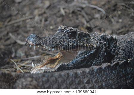 A dwarf crocodile resting in the dirt