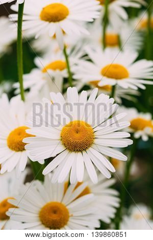 Close View Of Chamomile Or Matricaria, Many Beautiful Blooming Garden And Decorative White Flowers With Yellow Inflorescence In The Center In Summer Spring.