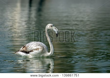 Greater Flamingo (Juvenile) in a water-logged area in Bahrain