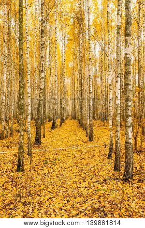 Birch Trees In Autumn Woods Forest. Yellow Foliage. Nobody. Russian Forest.