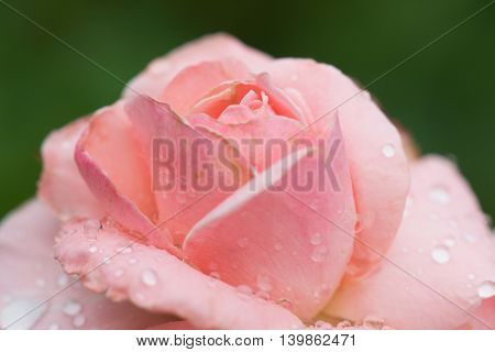 Pink rose flower in the garden after rain. Raindrops on petals.
