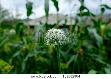Beautiful White Onion Flowers. Garden Background