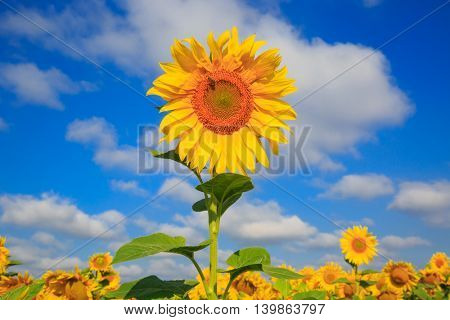 Nice sunflower in agricultural field
