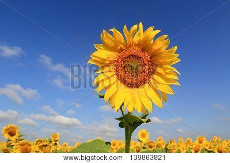 nice sunflower on meadow under blue sky