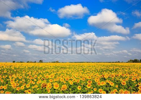 Scene with agricultural sunflower meadow under nice sky