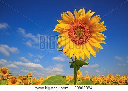 Yellow sunflower on farming field