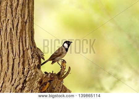 White-eared Bulbul or Pycnonotus Leucotis perched on a tree in Bahrain